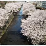 桜咲く 大日本ぞ 日本ぞ
